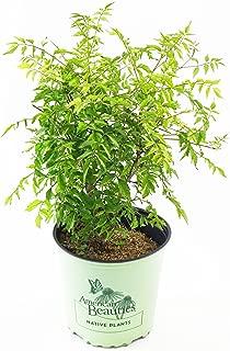 American Beauties Native Plants - Campsis radicans (Trumpet Vine) Vine, reddish orange, #2 - Size Container