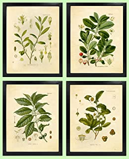 Ink Inc. Botanical Prints Vintage Wall Art - Stimulant Psychoactive Herbs – Set of 4 –Coffee, Tea, Coca, Mate – 8x10 Matte Unframed