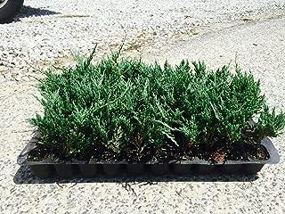 Juniper Bar Harbor Qty 30 Live Plants Evergreen Ground Cover
