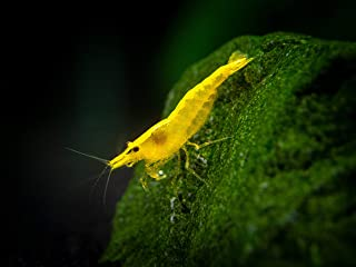 golden back shrimp