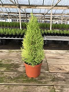 """Lemon Cypress Tree 18"""""""