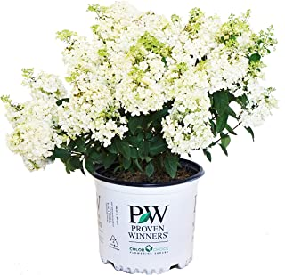 dwarf hydrangeas for containers