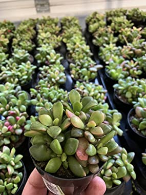 Anacampseros Sunrise Succulents Small Cluster Anacampseros Telephiastrum Variegata