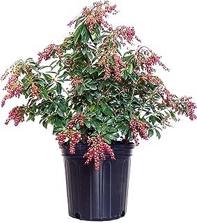 Pieris jap. 'Valley Valentine' (Valley Valentine Japanese Andromeda) Evergreen, pink flowers, #2 - Size Container