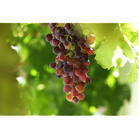 15 Samen // Pack 100/% Echte Golden Finger Green Sweet Traube Bio-Saatgut Hardy Pflanze K/östlicher Frucht Profi-Pack