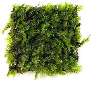 SubstrateSource Fissidens nobilis Moss Mat Live Freshwater Aquatic Aquarium Plant