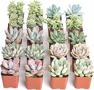 tiny succulents bulk