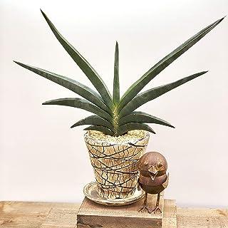 おしゃれ 観葉植物:サンセベリア・ロブスターブルー *コノハポットロング 受皿付