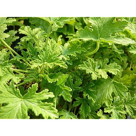 Citronella (mosquito plant) Scented Geranium Live Plant