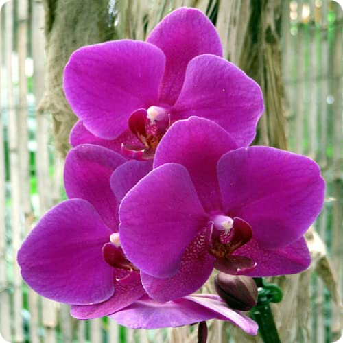 Orchid Wallpapers and -