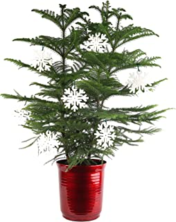 Costa Farms Live Indoor Christmas Tree, 3-Feet Tall, Ships with Red Planter and White Snowflakes, Fresh From Our Farm, Great as Holiday Gift or Christmas Decoration