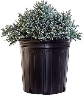 Juniperus squamata 'Blue Star' (Juniper) Evergreen, #2 - Size Container