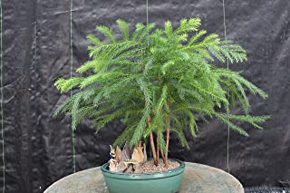 norfolk pine bonsai