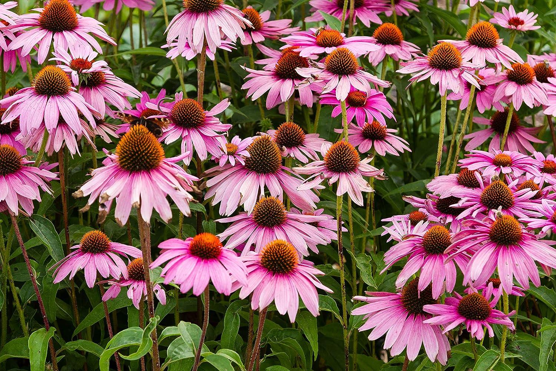 Sweet Yards Seed Co. Purple Coneflower Pound お歳暮 One 超激得SALE – Bulk Seeds Pa