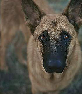 Regali di Malinois Belga Per Gli Amanti Dei Cani, Poster Stampe su Tela di Varie Dimensioni, Regali di Amante Dei Cani di ...