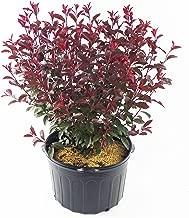 Prunus cistena (Purpleleaf Sandcherry) Shrub, #3 - Size Container