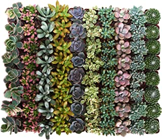 Shop Succulents | Premium Pastel Collection of Live Succulent Plants, Hand Selected Variety Pack of Mini Succulents | Collection of 100