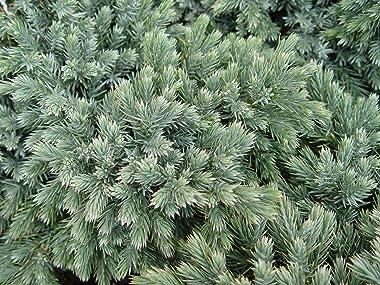 Blue Star Juniper (Juniperus Squamata 'Blue Star') - live potted plant in trade 2 gallon pot. Rich blue-green foliage