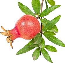 Dwarf Pomegranate Punica Granatum Live Plant