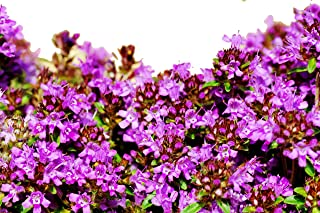 RDR Seeds 10,000 Creeping Thyme Seeds - Breckland Thyme, Wild Thyme, Thymus Serpyllum, Mother of Thyme, Groundcover Flowers