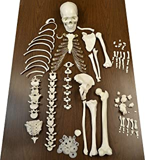 Disarticulated Human Skeleton, Half, Medical Quality, Life Sized (62