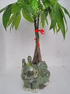 Money Tree Pachira Bonsai Fluffy Elephant Indoor/outdoor 4'' Pot Unique From Jmbamboo