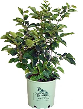 American Beauties Native Plants - Hamamelis virginiana (Common Witchhazel) Shrub, , #3 - Size Container
