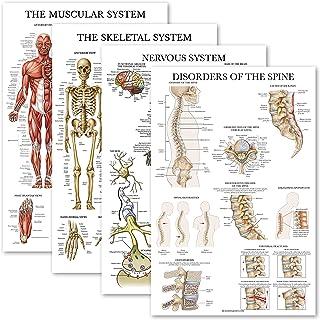 Juego de 4 carteles anatómicos laminados musculares, esqueléticos, sistema nervioso, trastornos de la columna vertebral, j...