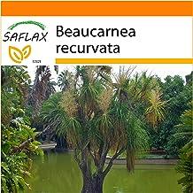SAFLAX - Garden in the Bag - Pata de elefante - 10 semillas - Con sustrato de cultivo en un sacchetto rigido fácil de manejar. - Beaucarnea recurvata
