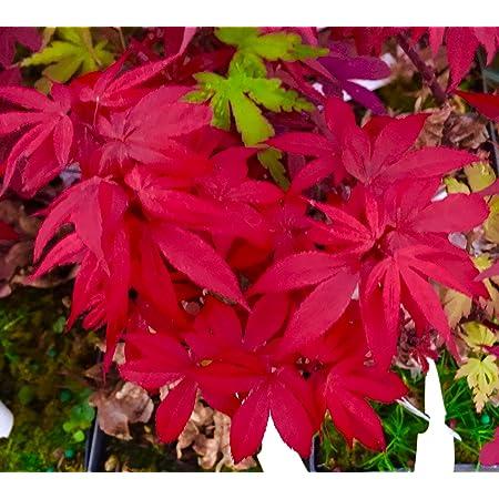 Year Live Plant Pixie Dwarf Japanese Maple 2