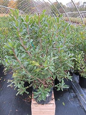 Myrica pensylvanica (Northern Bayberry) Shrub, #3 - Size Container