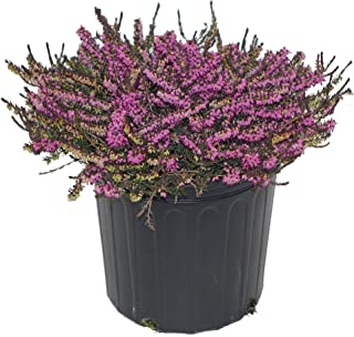 Erica 'Kramer's Red' (Spring Heather) Shrub, red flowers, #2 - Size Container