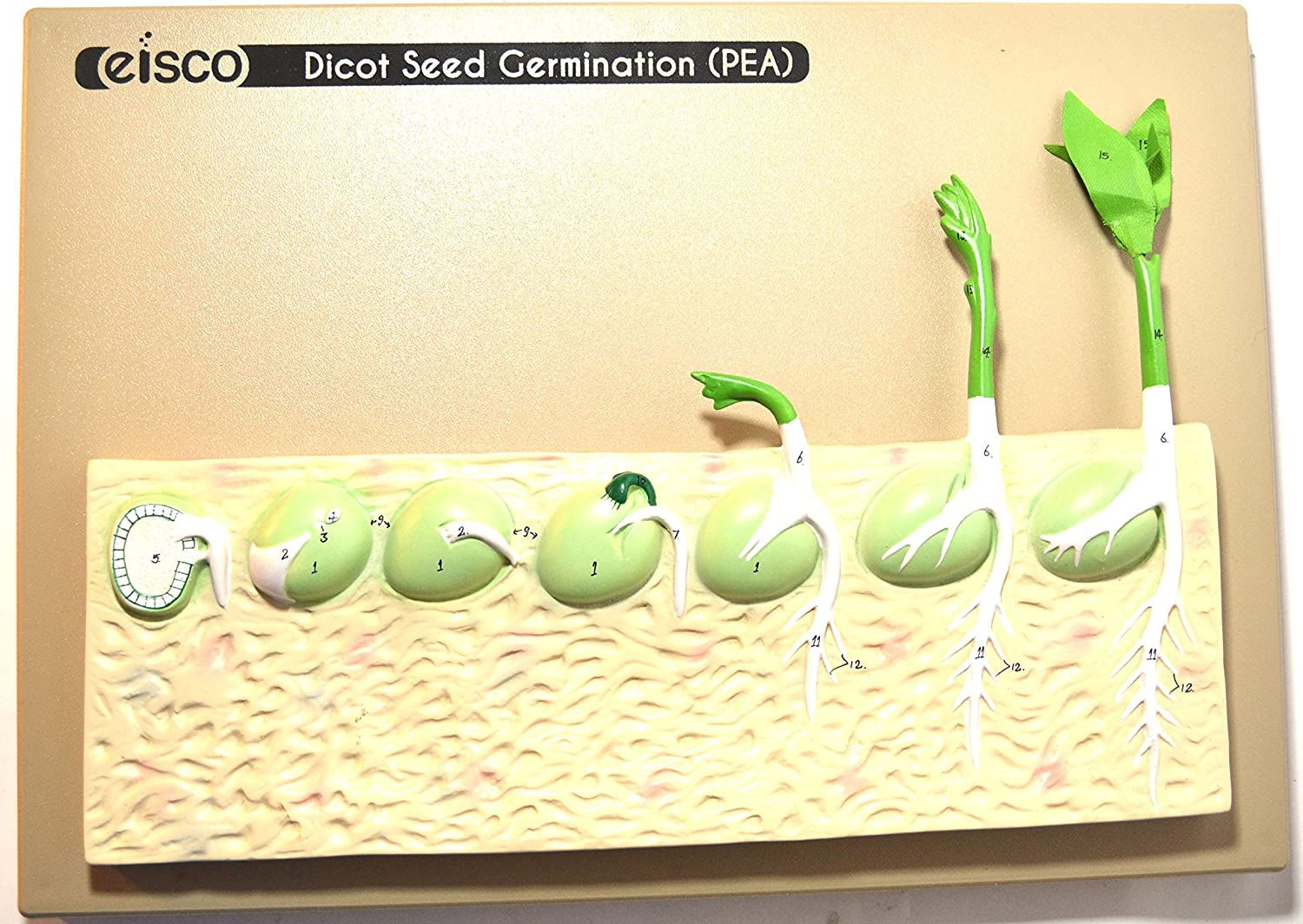 Eisco Labs Dicot Seed Germination Model (Pea)
