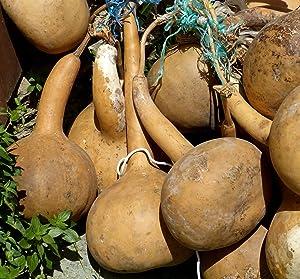 20 Seeds Dipper Gourd!! Long Handle! Buy 2 get 3rd Free! Bottle Bird House #40