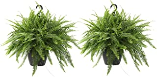Costa Farms Home Décor, Premium Live Boston Fern Hanging Basket, 2-Pack, Direct From Farm