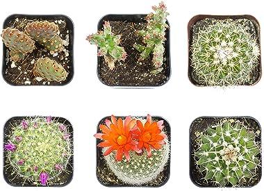 Cactus Plants (Mix of 6), Mammillaria Cactus Plants Live in Cactus Soil, Opuntia Cactus Live Plants, Cacti Plants Live, Cactu
