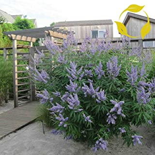 Toyensnow - Lilac Chaste Tree Vitex Agnus castus (10 Seeds)