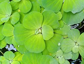 M-Tech Gardens Rare Pistia stratiotes (Water Cabbage/Water Lettuce) Subtropical Freshwater Aquatic Plant (1 Plant)