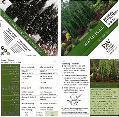 North Pole Arborvitae (Thuja) Live Evergreen Shrub, Green Foliage, 1 Gallon