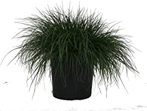 Dwarf Fountain Grass - Grass - Pe. Al. Hameln - 3 Gallon