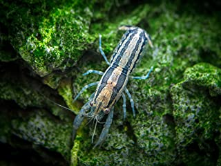 Aquatic Arts 1 Juvenile White Specter Live Freshwater Aquarium Lobster//Crawfish//Crawdad//Real Living Nano Fish Tank Pet