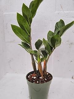 jmbamboo- ZZ Plant - Zamioculcas Zamiifolia - 4'' Pot
