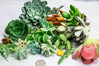 Fat Plants San Diego Succulent Cuttings, 25 Count