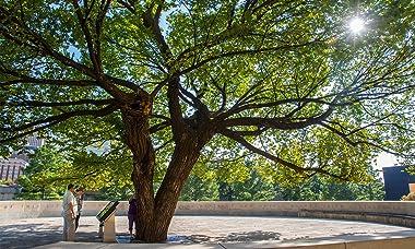 The Oklahoma City Survivor Tree | American Elm | The Jonsteen Company