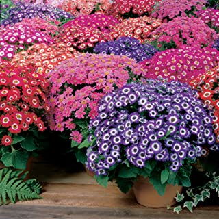 Outsidepride Cineraria Jester Mix - 100 Seeds