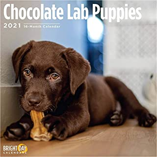 Bright Day Calendars 2021 Chocolate Lab Puppies Wall Calendar by Bright Day, 12 x 12 Inch, Cute Dog