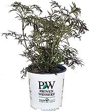 Proven Winners - Sambucus nigra Black Lace (Elderberry) Shrub, , #2 - Size Container