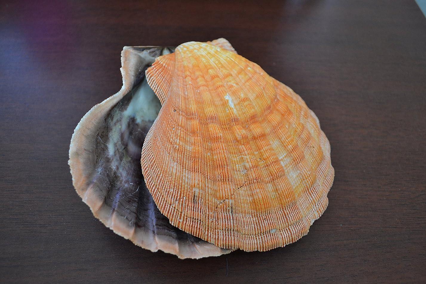 スモッグ勝利市長2個オレンジLion Paw Clam Dish Scallopビーチ海シェルペア5?–?5?1?/ 2?