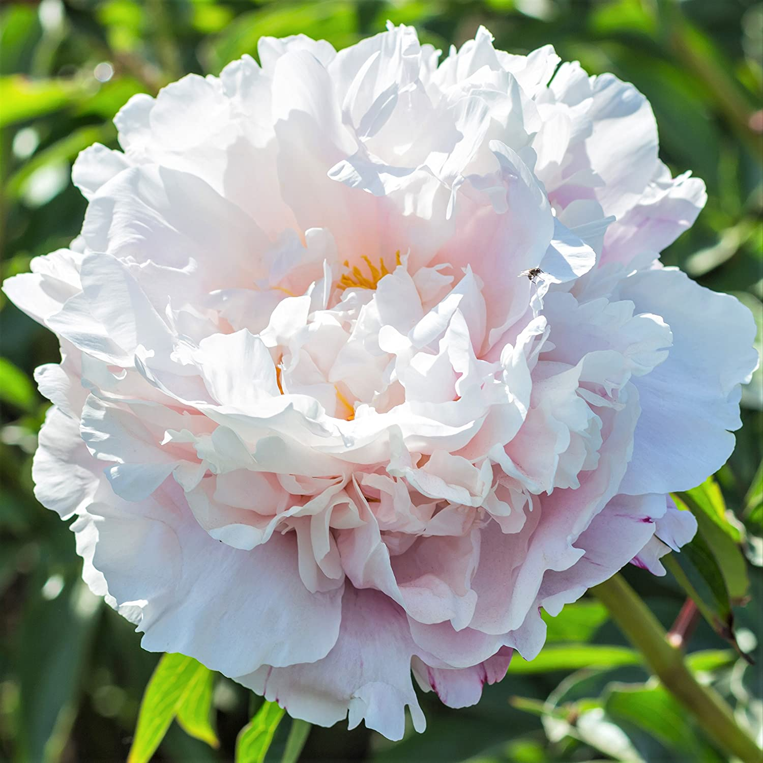 DIAMOND EYES THREE SCENTED BARE ROOT PATIO ROSES