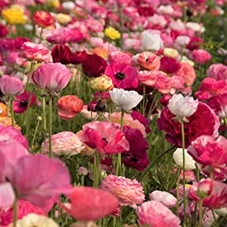 Best persian buttercup plant Reviews